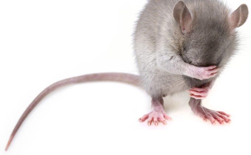 Szczury w domu, czy są niebezpieczne dla zdrowia?
